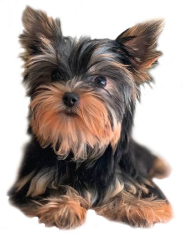 Why Decadent Dogs To Buy Your Next Yorkie